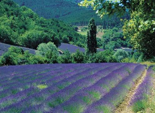 lavender-in-provence